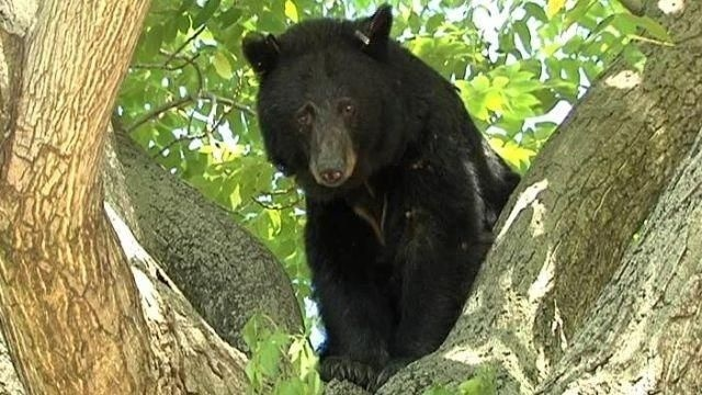 David Denbleyker shoots black bear in Hackettstown with bow and arrow
