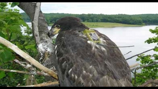 Bald eagles thriving in Pa., game officials say