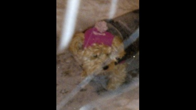 4yr Old Yorkie-Poo bundled out in the snow_23491152