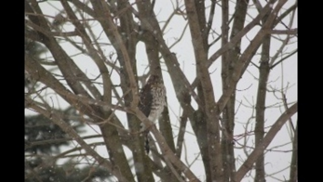 Cooper's Hawk looking for lunch during snow storm_23487284