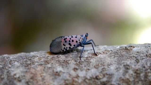 Milford Township officials voice concern  over spotted lanternfly