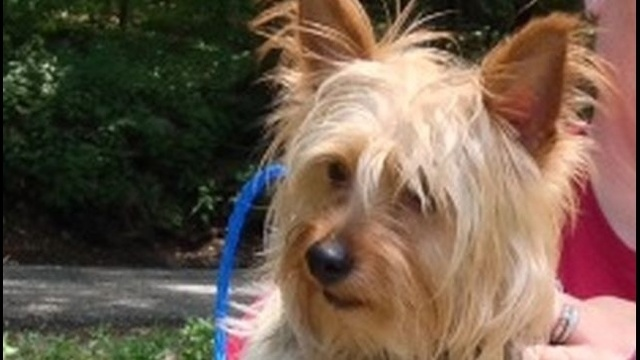 Strange dog-napping case: Woman swipes Yorkshire Terrier from SPCA in Schuylkill County