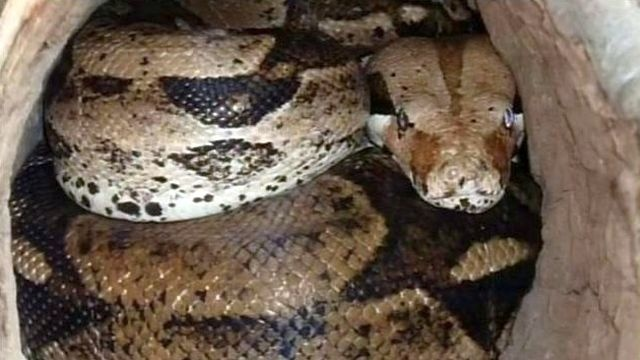 Cops, owner seek boa that slithered from Delaware County home