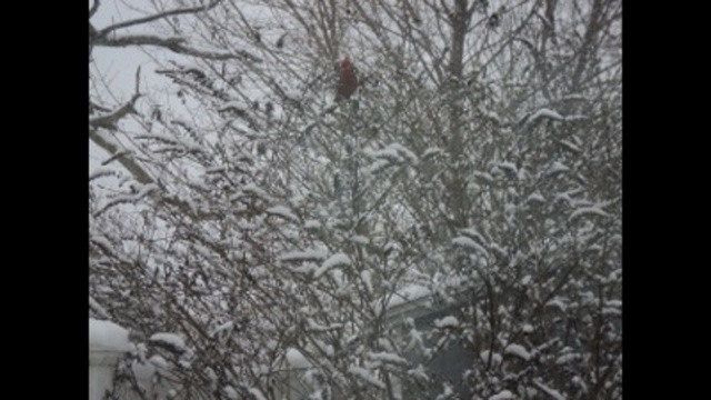 Cardinal in the snow_24037626
