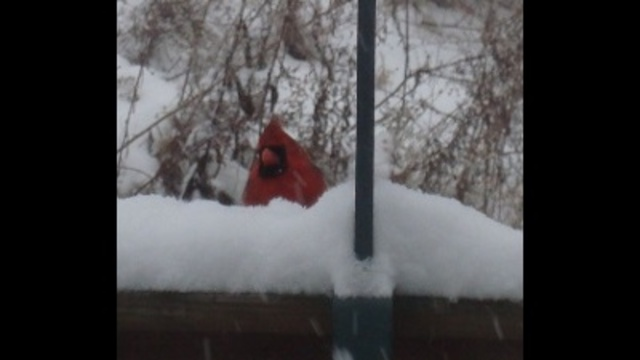 Cardinals at feeder in storm _24039000