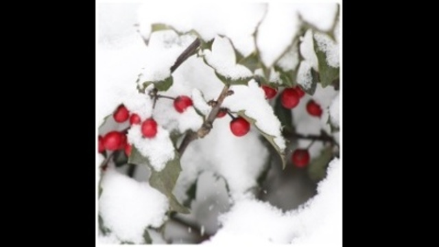 Holly berries and snow_24037136