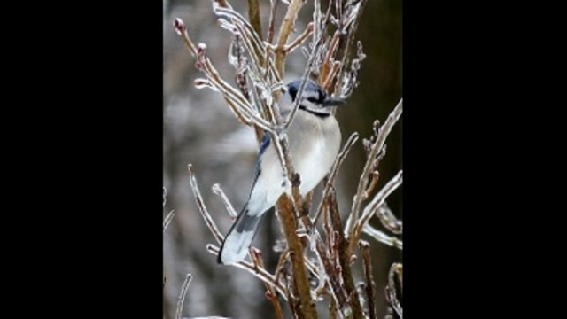 Birds on our icy lilac_24304262