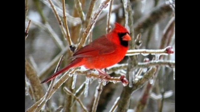 Cardinal in icy lilac_24304396