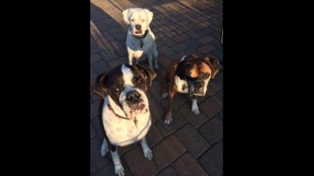 From the boxers to you, Happy National Dog Day!_27744408