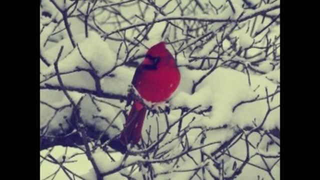 beautiful cardinal _24268788