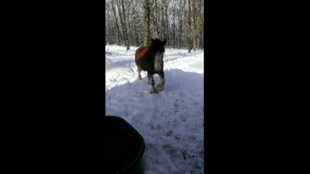 raises Clydesdales_24295570