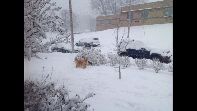 Golden-retriever-in-snow.jpg_24257330