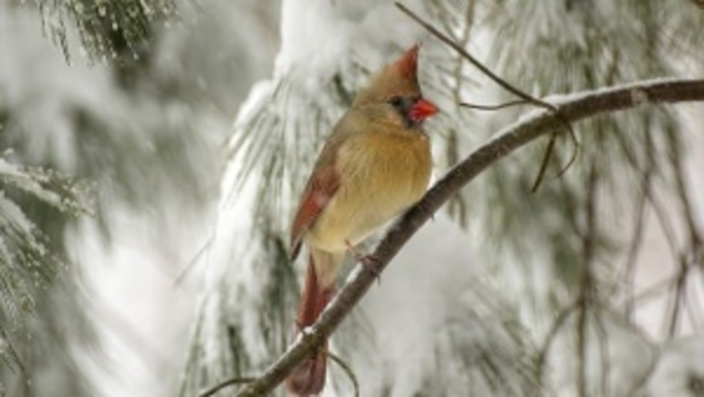Northern Cardinal in Snow Storm_24268258