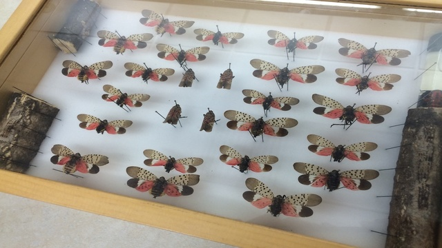 Spotted Lanternfly quarantine expands to Allentown