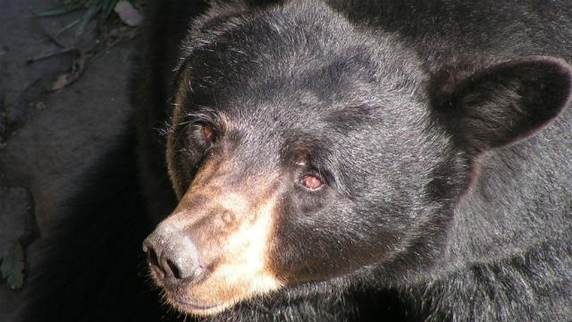 Bear hunt ends days after officials advance plan to ban it
