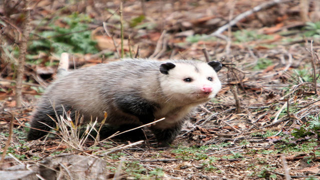 Man burns down house in attempt to smoke out opossums