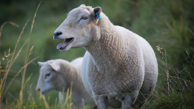 New artificial intelligence system can tell if a sheep is in pain
